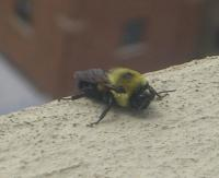 Close-up photo of Bombus griseocollis on ledge