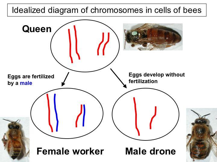 Honey Bee Genome Beespotter University Of Illinois