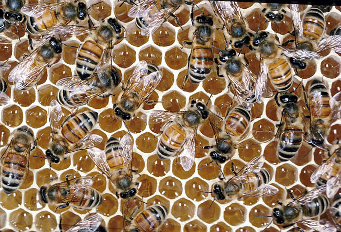 Image result for bees producing honey
