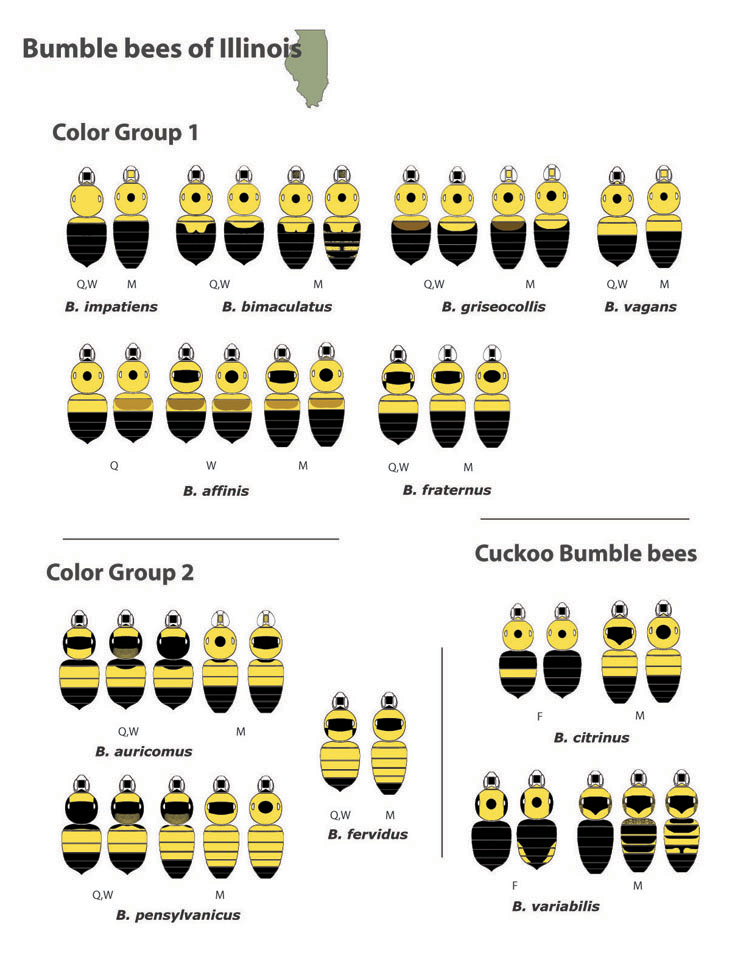 Bumble Bees of Illinois By Color Group BeeSpotter University