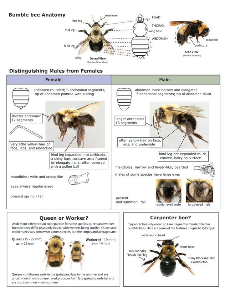 Key to Distinguishing Males from Females and Bee Anatomy, BeeSpotter ...