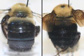 Bee Mimics BeeSpotter University Of Illinois