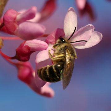 Vernal Plasterer bee (Photograph Claus Rasmussen)