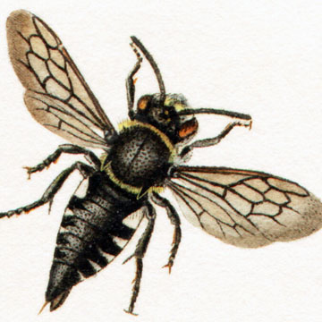 The Other Bees BeeSpotter University Of Illinois