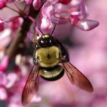 Eastern Carpenter bee (Photograph by Claus Rasmussen)